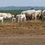 Legelésző marhák